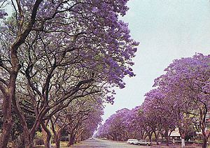 Jacaranda trees in Montagu Ave, Harare, Zimbabwe in 1975