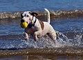 Jack Russell Terrier - Eddi - panoramio (2).jpg