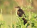 Jacobin cuckoo-kannur birds-kattampally - 2.jpg