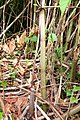 Japanese Knotweed (stems) - geograph.org.uk - 905629.jpg