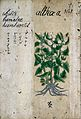 Japanese herbal, 17th century Wellcome L0030040.jpg