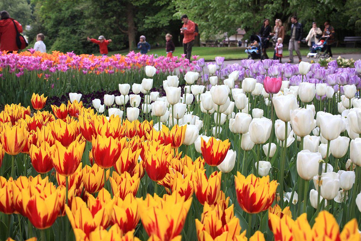 tulipe wiktionnaire