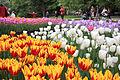 Jardin des tulipes.jpg