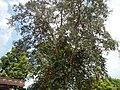 Jf5933Lubao San Nicolas Chrysophyllum cainito Pampangafvf 02.JPG