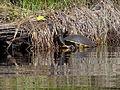 Jicotea Turtle in Lagoon - Playa y Laguna La Ventanilla - Oaxaca - Mexico - 01 (6522940045).jpg