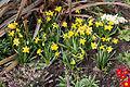 Jonquille-Narcissus-20150324.jpg