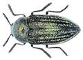 Julodella globithorax (Steven, 1830).png