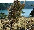 Juniperus maritima Anacortes6.jpg