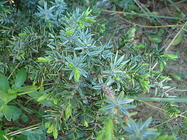 Juniperus oxycedrus macrocarpa.JPG