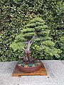Juniperus rigida - Enebro de las pagodas.JPG