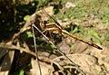 Juvenile Male. Orthetrum Glaucum - Flickr - gailhampshire (1).jpg