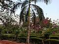 Kadri Park in Mangalore - Pink Bougainvillea trees and Bamboo palm tree.jpg