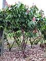 Kakaoplantage Guayas Province Ecuador45.jpg