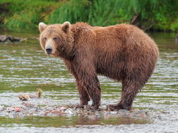 Kamchatka Brown Bear near Dvuhyurtochnoe on 2015-07-23.png