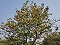 Kanak Champa (Pterospermum acerifolium) in Hyderabad W IMG 7127.jpg