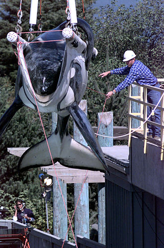 Captive killer whales - Keiko is weighed as he is loaded into his specially made transport tank at the Oregon State Aquarium, on September 9, 1998.