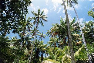 Foresta di palme Howea forsteriana sull'isola di Lord Howe