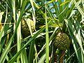 Kewda(Pandanus odoratissimus).jpeg