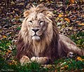 King of the Jungle (28605127134).jpg