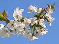 Kiraz çiçekleri (kesik).jpg