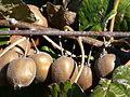 Kiwis on branch.jpg