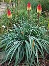 Kniphofia caulescens (Fackellilie)-2