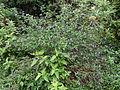 Knuckles Mountain Range plants 16.JPG