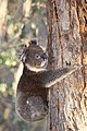 Koala (Phascolarctos cinereus) (26655211532).jpg