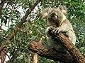 Koala in tree 3.jpg