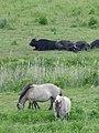 Koniks und Wasserbüffel im Naturschutzgebiet Schönerlinder Teiche, Brandenburg 2020 02.jpg
