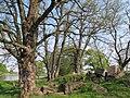 Korina 2011-04-29 Robinia pseudoacacia.jpg