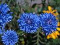 Korn-Flockenblume (Centaurea cyanus).jpg