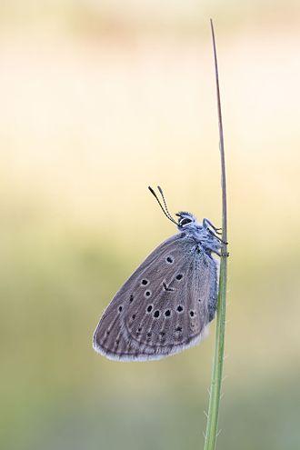 Phengaris rebeli - Image: Kreuzenzian Ameisenbläuling (Phengaris rebeli)