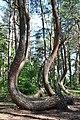 Krzywy las - 003.jpg