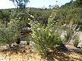 Kunzea ericifolia habit.jpg