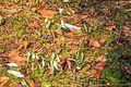 Kvetoucí sněženky v PP Sněženky ve Vysokém lese 11.jpg