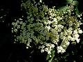 Kwitnący krzew - panoramio (1).jpg