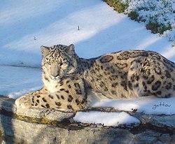 Léopard des neiges - Snow leopard.jpg