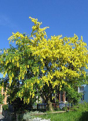 Laburnum - Laburnum tree in full flower