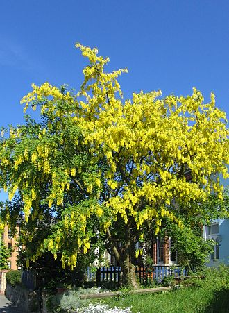 Laburnum - Laburnum tree in full flower