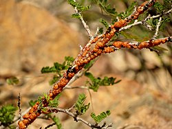 Lac Insects on a Babybonnet Branch - Flickr - treegrow (12).jpg