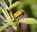 Lachnaia italica. Chrysomelidae (44210335574).jpg