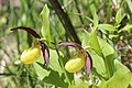 Lady's-Slipper Orchid - Cypripedium calceolus (14248234613).jpg