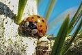 Ladybird (17185239307).jpg