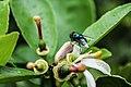 Lalat Jamban Oriental.jpg