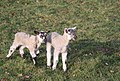 Lambing season in Ickworth Park - geograph.org.uk - 1220352.jpg