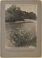 Lambton daisies (HS85-10-14790).jpg