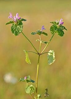 <i>Lamium</i> Genus of flowering plants
