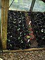 Lapageria rosea - 81 potlings - Flickr - peganum.jpg