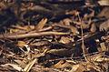 Large-tailed Nightjar (Caprimulgus macrurus) (20623395638).jpg